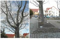 Platanen ersetzen Ahornbäume